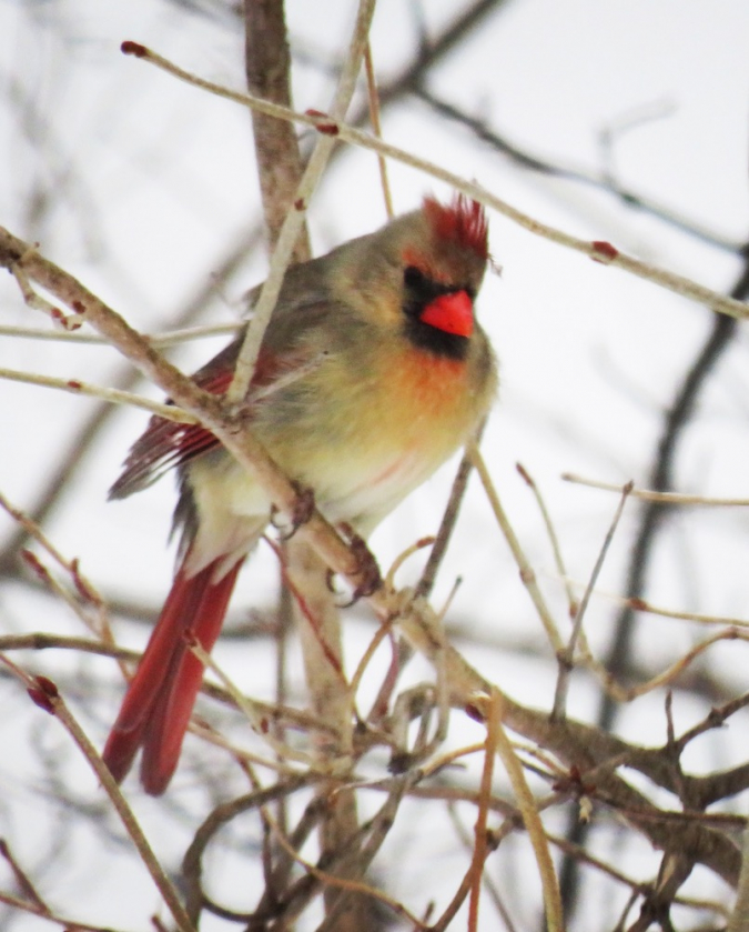 An Assessment of the Songbird Habitat Quality Provided by Red Pine Plantations in Eastern Ontario