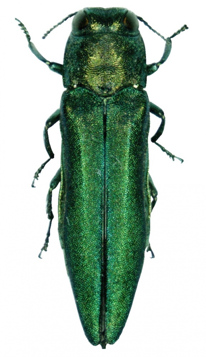 Rights vs Responsibility and the Emerald Ash Borer