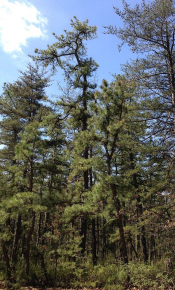 Distribution and Abundance of Pitch Pine