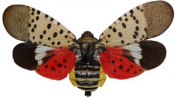 Introduction to Lycorma deliculata: Spotted Lanternfly