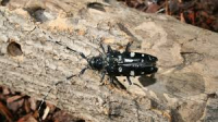 Asian Longhorned Beetle - French Fact sheet
